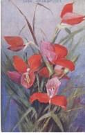 SOUTH AFRICAN FLORA - DISA GRANDIFLORA - Flowers, Plants & Trees