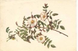 FRENCH FLORA - ROSA REDUTEA GLAUCA - Flowers, Plants & Trees