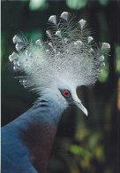 Postcard Bird Victoria Crowned Pigeon - Oiseaux