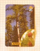 Larch - Nature SERBIA ´70 (Yugoslavia) / Mélèze Larice Lärche / Evergreen Tree - Unclassified