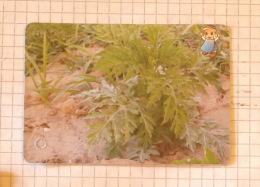 Ambrosia  - Nature SERBIA ´70 (Yugoslavia) / Ambroisie / Plants - Other Collections