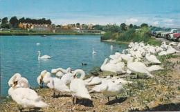 WEYMOUTH - THE SWANS - Weymouth