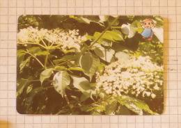 Elder Flower - Nature SERBIA ´70 (Yugoslavia) / Sambuco Holunder Aîné Elderberry / Plants Tree Arbre Baum - Unclassified