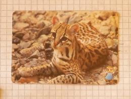 OCELOT  - Nature SERBIA ´70 (Yugoslavia) Dwarf Leopard / Wild Cat, Chat Gatto Katze Gato / Animal - Other Collections