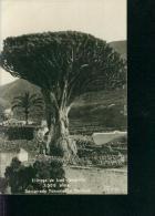 El Drago De Icod Tenerife 3.000 Anos  Declarado Monumento Nacional Foto F.B. No. 50 Ca. 1910 - Tenerife