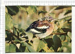 OISEAUX   :    Jeune PINSON - Oiseaux