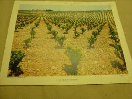 Année 1954  Grande Photographie En Couleurs Les VIGNES Du LANGUEDOC  (27cm X 21cm) - Places