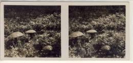 Stéreo Photographie  Fliegenpilze Champignon Mushroom Funghi  Serie G N° 16, Stereoskopie, Stereoscope - Stereoscopic
