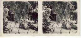 Stéreo Photographie - Tannen Im Rauhreif  , Serie G N° 19, Stereoskopie, Stereoscope - Stereoscopic