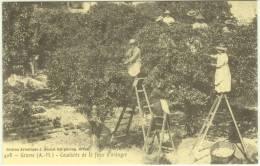 06 - GRASSE - Cueillette De La Fleur D'oranger - REPRODUCTION - Grasse