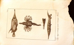 GRAVURE 19° SIECLE: Pegase Dragon, Centrisque Cuirassé, Centrisque Becasse (pl 45) - Prints & Engravings
