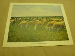 1955 Grande Photo En Couleurs (27cm X 21cm)  Les Moutons Dans Les Prairies De CHAMPAGNE..  Envoi Gratuit - Lieux