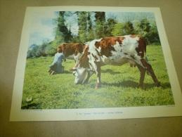 Cliché Landau De 1954  (27cm X 21cm) Fermière Entrain De Traire Une Vache Dans Une Prairie NORMANDIE..autre Jolie Vache - Photos