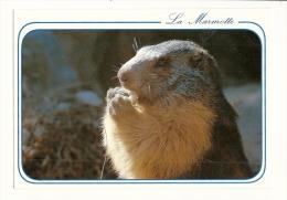 Cp, Animaux, La Marmotte - Animaux & Faune