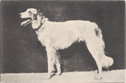 CHIEN RACE LEVRIER DOG Whippet Greyhound 1900 - Dogs