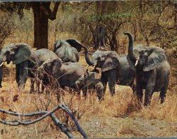 (150) Elephant - Zambia - Elephants