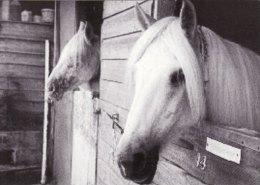 Promotion Print Suki & Cindy Mare & Foal Sactuary NEWTON ABBOT Horse Devon - Animals