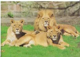 Animal Postcard - African Lions At Chester Zoo  MP391 - Lions