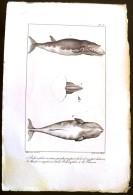 GRAVURE 19° SIECLE : Baleinoptere Museau Pointu Vue Par Coté, Vue Par Dessous, Machoire Supeieure, Le Fanon  (pl 8) - Prints & Engravings
