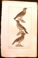 GRAVURE 19° SIECLE:  Oiseaux: L'ALOUETTE, LA FARLOUSE OU L4ALOUETTE DES PRES, LE CUJELIER (Pl 171) . - Prints & Engravings