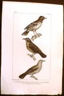 GRAVURE 19° SIECLE:  Oiseaux: L'ETOURNEAU DES TERRES MAGELLANIQUES, LE BALTIMORE, LE CASSIQUE DE LA LOUISIAN (Pl 144) . - Prints & Engravings