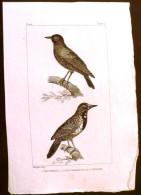 GRAVURE 19° SIECLE:  Oiseaux: L'ETOURNEAU, L'ETOURNEAU DE LOUISIANE (Pl 142) . - Prints & Engravings
