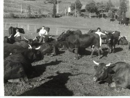 Photo De Jack Andral Troupeau De Vaches Salers Paysage Paysan Du Cantal 15 N°1947 - Vaches