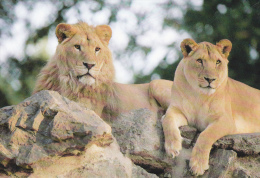 CPM COUPLE DE  LIONS PARC ANIMALIER ATTRACTIONS DOMPIERRE SUR BESBRE - Leoni
