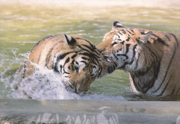 CPM TIGRE TIGRES  PARC ANIMALIER ATTRACTIONS DOMPIERRE SUR BESBRE - Tigri