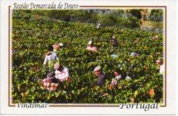 Vindimas Douro  Wijn Vin  Wein  Wine Portugal - Vignes
