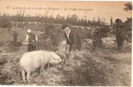 La TRUFFE Est TROUVÉE - Récolte En PÉRIGORD - PAYSAN Au Cochon - Porc Chercheur - Autres Communes