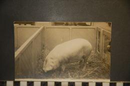 CP, Photographie, Animaux, Carte Photo D'un Cochon En Enclos Porc Concours Foire Agricole A Identifier - Photographie