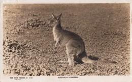 1933 AUSTRALIAN KANGAROO - THE ROSES SERIES P 2752/ CANGURO AUSTRALIANO - Australie
