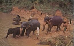 C1960 ELEPHANTS DAILY BATH - Sri Lanka (Ceylon)