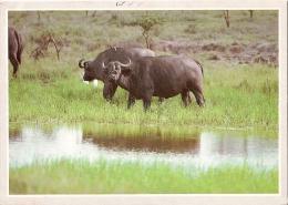 BUFALO AFRICANO - Kenia