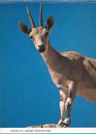 Israel Gazelle In The Negev Mountains