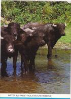 Israel Water Buffalo Hula Nature Reserve