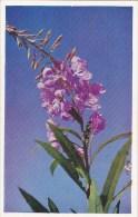 Fireweed Epelobium Angustifolium Jasper Alberta Canada