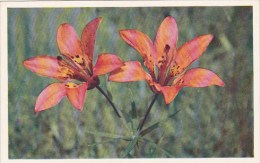 Red lily Lilium Montanum Jasper Alberta Canada