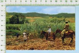 Martinique ( Récolte De La Canne à Sucre ) Post Card Carte Postale  2 Scans - Agriculture