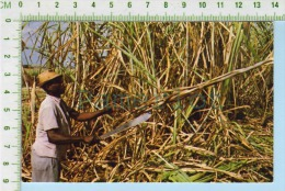 Antigua  ( Cane Cutter At Work In The Fields) Post Card Carte Postale  2 Scans - Agriculture