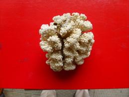 MORCEAU DE CORAIL +ENVIRON 250 G+ - Mineralien