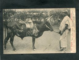 ANGOLA  LUANDA   BOI CAVALLO   RACE DE BOEUF CAVALLO AVEC SELLE D EQUITATION       /  CIRC  OUI  1905 - Angola