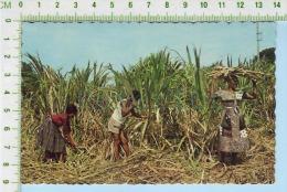 Martinique  ( Coupe De La Canne  à Sucre  ) Post Card Carte Postale 2 Scans - Key West & The Keys