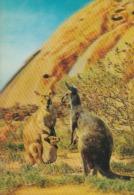 Oceania--Australia---3D---Canguros - Australia