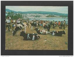 - Postcard TERCEIRA 1970years ANGRA DO HEROISMO & Cow AZORES AÇORES PORTUGAL - - Açores