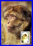 Official Maximum Card - Faune Protégée - Magot Ou Macaque Berbère (Macaca Sylvanus) - Algérie - 1988 - Algerien (1962-...)