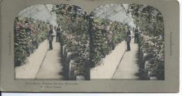Cosmopolitan Série/Green House/Heysham Gardens/Morecambe/Une Serre Chaude/Vers 1910    STE1 - Photos Stéréoscopiques