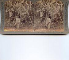 Vue Stereoscopique -  Underwood - Java - Pandanus Dans Le Jardin Botanique Buitenzorg - Visionneuses Stéréoscopiques