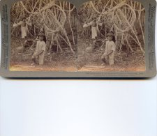 Vue Stereoscopique -  Underwood - Java - Pandanus Dans Le Jardin Botanique Buitenzorg - Stereoscopes - Side-by-side Viewers